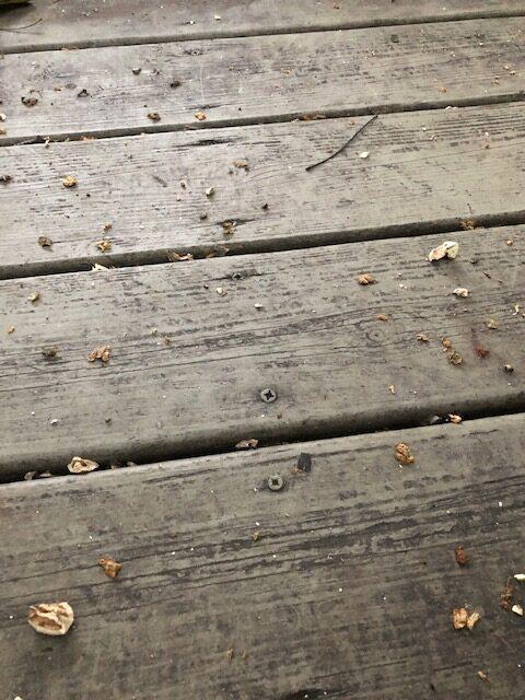 Hickory nut shards